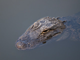 American Alligator (Alligator Mississippiensis), Everglades, UNESCO World Heritage Site, Florida US Photographic Print by Michael DeFreitas