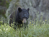 Black Bear (Ursus Americanus) Eating, Glacier National Park, Montana, USA, North America Photographic Print by James Hager