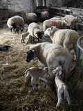 Sheep and Lambs on a Dartmoor Farm, Devon, England, United Kingdom, Europe Photographic Print by David Lomax
