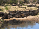 Cape Buffalo (Syncerus Caffer) Herd Resting at Water, Kruger National Park, South Africa, Africa Photographic Print by Ann & Steve Toon