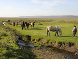 Welsh Mountain Ponies (Equus Caballus) Grazing, Llanrhidian Salt Marshes, Gower Peninsula, Wales Photographic Print by Nick Upton