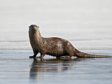 River Otter (Lutra Canadensis) on Frozen Yellowstone Lake, Yellowstone National Park, Wyoming, USA Photographic Print by James Hager