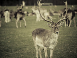 Stag with Herd of Deer in Phoenix Park, Dublin, Republic of Ireland, Europe Photographic Print by Ian Egner