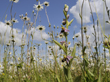 Bee Orchid (Ophrys Apifera) in Meadow and Ox-Eye Daisies (Leucanthemum Vulgare), Wiltshire, England Photographic Print by Nick Upton