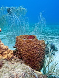 Coney (Cephalopholis Fulva), in a Barrel Sponge, St. Lucia, West Indies, Caribbean, Central America Photographic Print by Lisa Collins