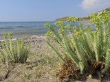 Sea Spurge (Euphorbia Paralias) Clumps in Coastal Sand Dunes, Lesbos (Lesvos), Greece Photographic Print by Nick Upton