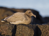 Lava Gull (Leucophaeus Fuliginosus), Galapagos Islands, UNESCO World Heritage Site, Ecuador Photographic Print by Michael Nolan
