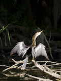 Anhinga (Anhinga Anhinga), Everglades, UNESCO World Heritage Site, Florida, USA, North America Photographie par Michael DeFreitas