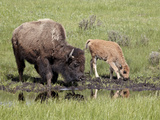 Bison (Bison Bison) Cow and Calf Drinking, Yellowstone National Park, Wyoming, USA, North America Photographic Print by James Hager