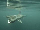 Basking Shark (Cetorhinus Maximus) Feeding on Plankton, Inner Hebrides, Scotland, UK, Europe Photographic Print by Mark Harding