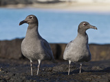 Lava Gulls (Leucophaeus Fuliginosus), Galapagos Islands, UNESCO World Heritage Site, Ecuador Photographic Print by Michael Nolan