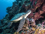 Green Turtle (Chelonia Mydas) with Remoras Rachyucentron Canadum), Sulawesi, Indonesia Photographic Print by Lisa Collins