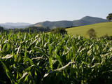 Cornfield Between St Jean Pied de Port and Roncevaux, Pyrenees, Basque Country, France Photographic Print by Phil Clarke-Hill