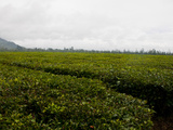 Tea Plantation, Highlands, Papua New Guinea, Pacific Fotografie-Druck von Michael Runkel
