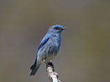 Male Mountain Bluebird (Sialia Currucoides), Yellowstone National Park, Wyoming, USA, North America Photographic Print by James Hager