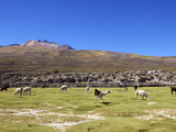 Llamas and Alpacas Grazing, Tunupa, Bolivia, South America Photographic Print by Simon Montgomery