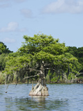 Young Cyprus Tree, Everglades, UNESCO World Heritage Site, Florida, USA, North America Photographic Print by Michael DeFreitas