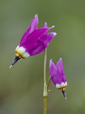 Alpine Shooting Star (Dodecatheon Alpinum), Yellowstone National Park, Wyoming, USA, North America Photographic Print by James Hager