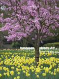 Stuart Black - Daffodils and Blossom in Spring, Hampton, Greater London, England, United Kingdom, Europe - Fotografik Baskı