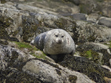 Seal on Rocks, United Kingdom, Europe Photographic Print by Mark Harding