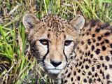 Cheetah, (Acinonyx Jubatus), Namibia, Africa Photographic Print by Nico Tondini