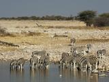 Burchell's Zebra (Equus Burchellii), Etosha National Park, Namibia, Africa Photographic Print by Sergio Pitamitz