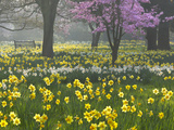 Daffodils and Blossom in Spring, Hampton, Greater London, England, United Kingdom, Europe Fotodruck von Stuart Black