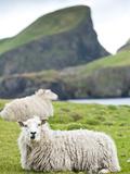 Domestic Sheep, Fair Isle, Shetland Islands, Scotland, United Kingdom, Europe Photographic Print by Andrew Stewart