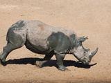 White Rhino (Ceratotherium Simum) Running Alongside Waterhole, Mkhuze Game Reserve, South Africa Photographic Print by Ann & Steve Toon