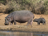 Hippopotamus (Hippopotamus Amphibius) with Calf, Kruger National Park, Mpumalanga, South Africa Photographic Print by Ann & Steve Toon