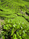 Boh Tea Plantation, Cameron Highlands, Malaysia, Southeast Asia, Asia Fotografie-Druck von Matthew Williams-Ellis