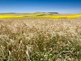 Weeds in Wheat and Summer Fields, Cadiz, Andalucia, Spain, Europe Photographic Print by Giles Bracher