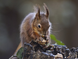 Red Squirrel (Sciurus Vulgaris) Eating Nuts in a Wood, United Kingdom, Europe Photographic Print by Mark Harding