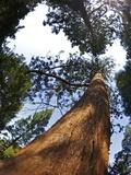 Giant Redwood (Sequoiadendron Giganteum), Royal Botanic Gardens, Kew, London, England, UK, Europe Photographic Print by Peter Barritt