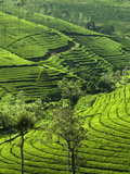 View over Tea Plantations, Near Munnar, Kerala, India, Asia Fotografie-Druck von Stuart Black