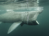 Basking Shark (Cetorhinus Maximus) Feeding on Plankton, Hebrides, Scotland, United Kingdom, Europe Photographic Print by Mark Harding