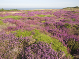 Heather in Flower with View to the Sea, Dunwich Heath, Suffolk, England, United Kingdom, Europe Photographic Print by Ian Murray