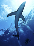 Blue Shark (Prionace Glauca) in the Azores, Portugal, Atlantic, Europe Photographic Print by Mark Harding