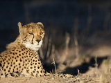 Cheetah (Acinonyx Jubatus), Kgalagadi Transfrontier Park, South Africa, Africa Photographic Print by Ann & Steve Toon