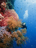 Diver Swimming Along a Wall at Bunaken, Sulawesi, Indonesia, Southeast Asia, Asia Photographic Print by Lisa Collins