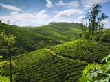 View over Tea Plantations, Near Munnar, Kerala, India, Asia Photographic Print by Stuart Black