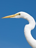 Great Egret (Ardea Alba), Everglades, Florida, United States of America, North America Photographic Print by Michael DeFreitas