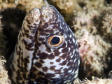 Spotted Moray Eel (Gymnothorax Moringa), St. Lucia, West Indies, Caribbean, Central America Photographic Print by Lisa Collins