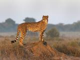 Cheetah Female (Acinonyx Jubatus), Phinda Private Game Reserve, Kwazulu Natal, South Africa, Africa Photographic Print by Ann & Steve Toon