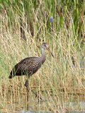 Limpkin (Aramus Guarauna), Everglades, Florida, United States of America, North America Photographic Print by Michael DeFreitas