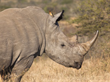 White Rhino (Ceratotherium Simum), Imfolozi Game Reserve, Kwazulu-Natal, South Africa, Africa Photographic Print by Ann & Steve Toon