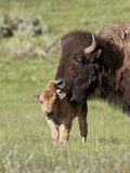 Bison (Bison Bison) Cow Cleaning Her Calf, Yellowstone National Park, Wyoming, USA, North America Photographic Print by James Hager