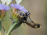 Crab Spider (Synema Globosum) with Bumblebee (Eulasia Vittata) Prey, Lesbos, Greece Photographic Print by Nick Upton