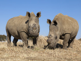 Dehorned White Rhinos (Ceratotherium Simum) on Rhino Farm, Klerksdorp, South Africa Photographic Print by Ann & Steve Toon