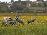 Juvenile Common Cranes (Grus Grus) Released by Great Crane Project on Somerset Levels, England Photographic Print by Nick Upton